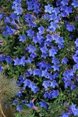 A Creeping Evergreen Shrub Bearing Profusion Of Blue Flowers In May And June Intermittently