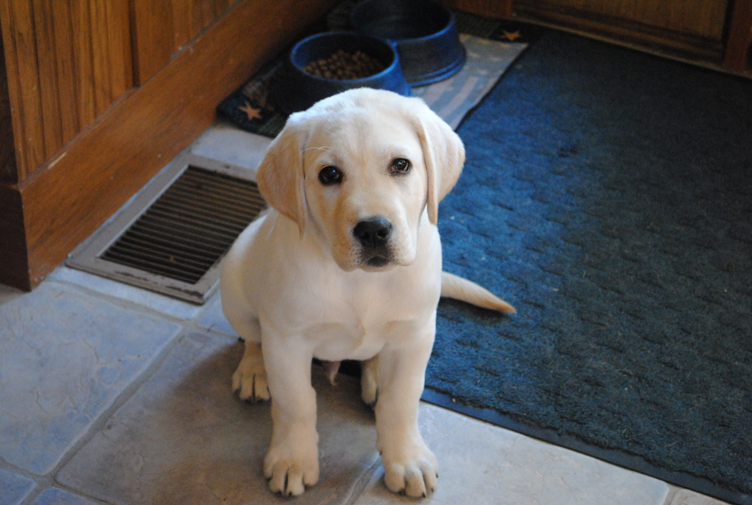Buster The English Yellow Lab Baby Puppies Yellow Lab Puppy Puppies
