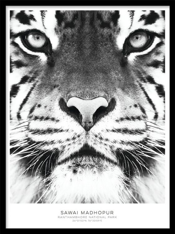 Tiger, julisteet ryhmässä Julisteet ja printit / Koot / 30x40cm @ Desenio AB (7950)