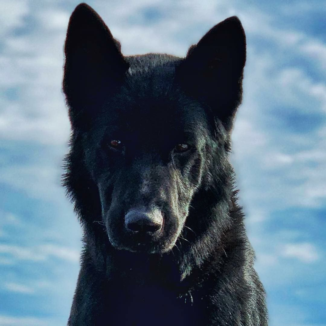 CT Police K9 GERMAN SHEPHERD Dog From k9_casner in 2020
