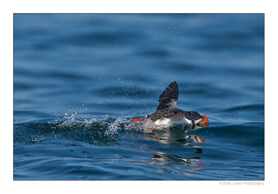Puffin's 100m Freestyle..!  by Brett Lewis on 500px