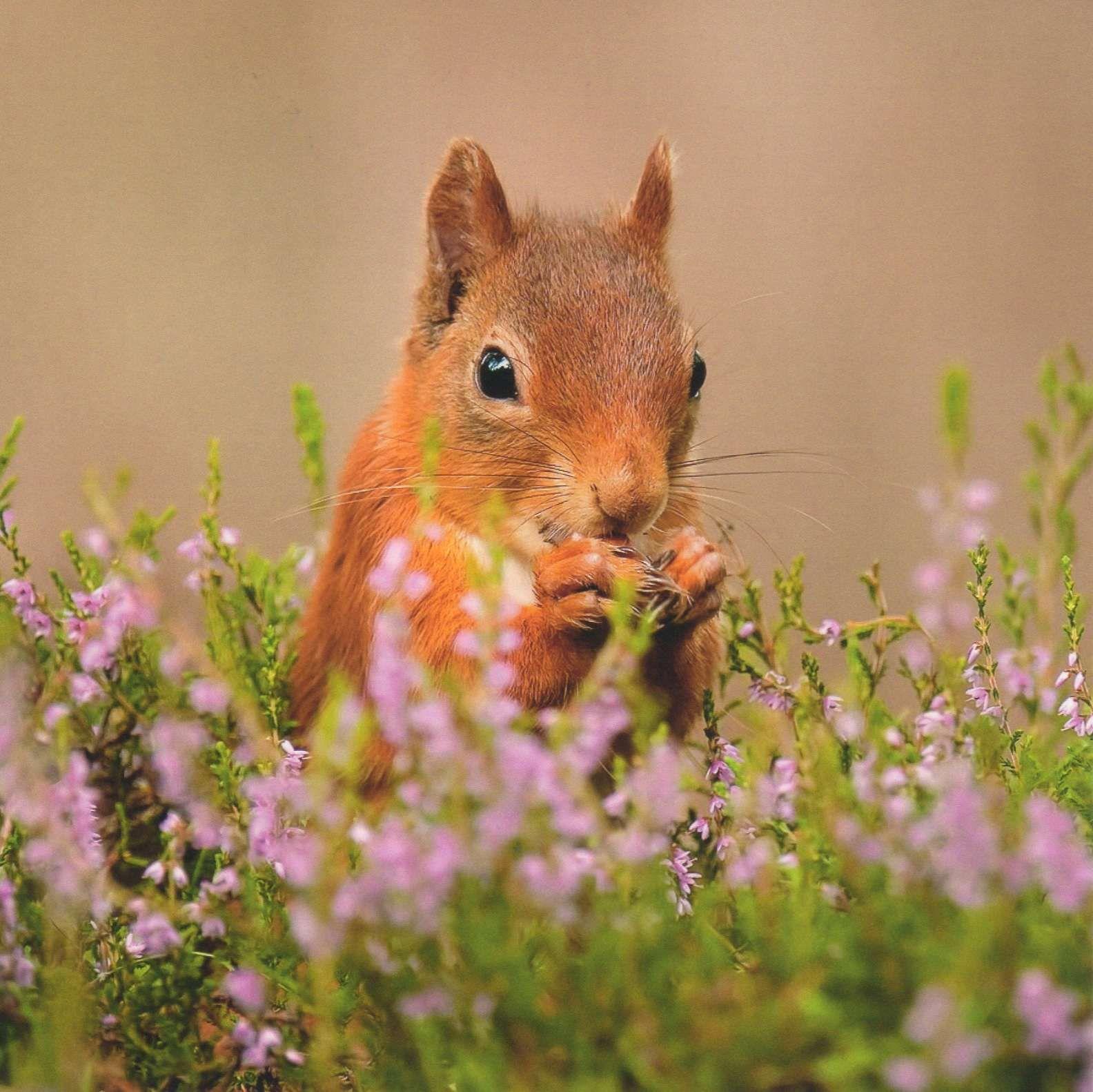 Red Squirrel In Scottish Heather Animals, Red squirrel