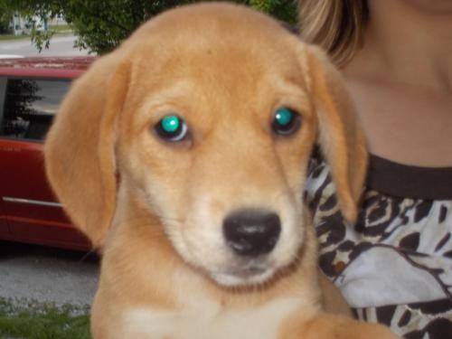 Adopt Sunnie On Adoptable Beagle Shiba Inu Puppy Love