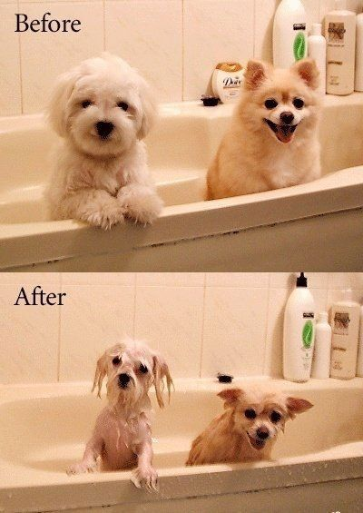 Hahahaha this is pretty much how my dogs look like at bath time....same breeds just different colors...