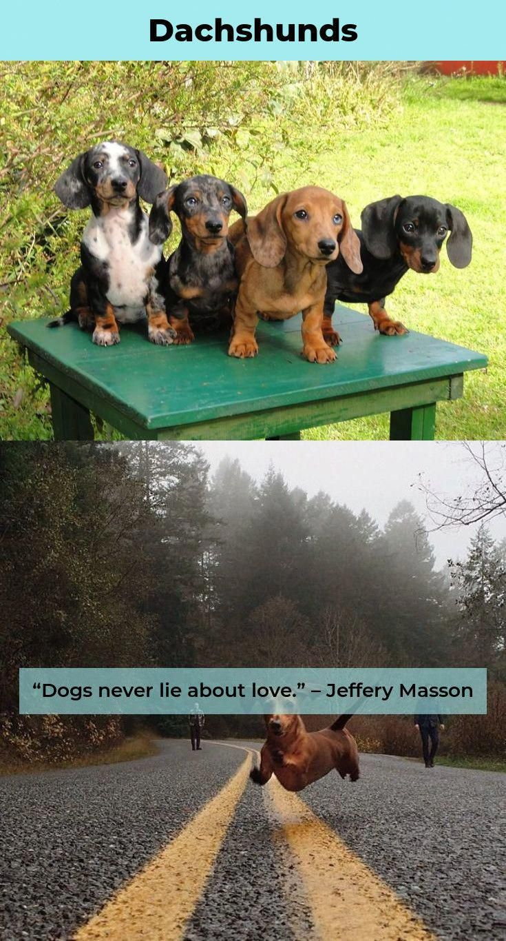 More About The Dachshund Puppy Personality Dachshund Love