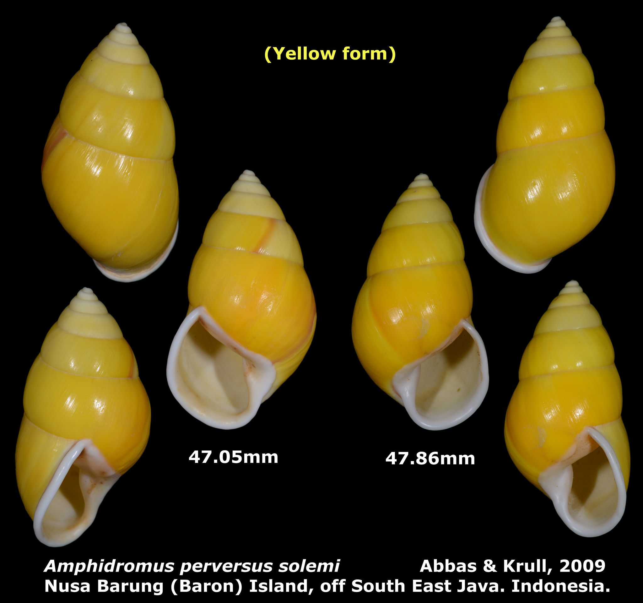 https://flic.kr/p/uJUDdx | Amphidromus perversus solemi 47.05 & 47.86mm | Phylum: Mollusca 軟體動物門 Class: Gastropods 腹足綱 Family: Camaenidae 南亞蝸牛科 Scientific name: Amphidromus perversus solemi Chinese name: Author: Abbas & Krull, 2009 Size: 47.05 & 47.86mm Description: (Yellow form). On bushes and trees, Nusa Barung (Baron) Island, off South East Java. Indonesia. March, 2015.  More detail photo, please click the following link.