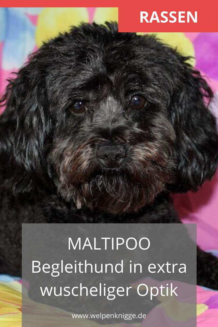 Maltipoo Welpen In 2020 Maltipoo Welpen Welpen Hunde Rassen