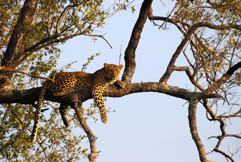 upload.wikimedia.org wikipedia commons f f8 Leopard_on_tree.JPG