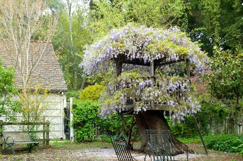 Wisteria on Atherton fort traditional landscape