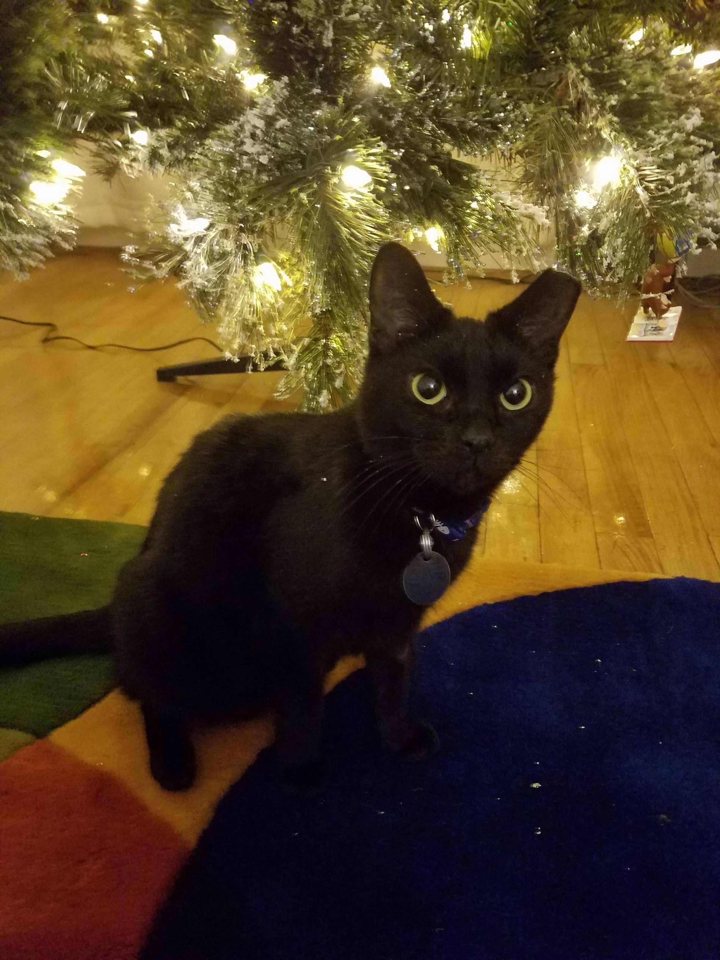 Here S Caroline Hanging Around The Christmad Tree Cute Animals Christmas Cats Kittens