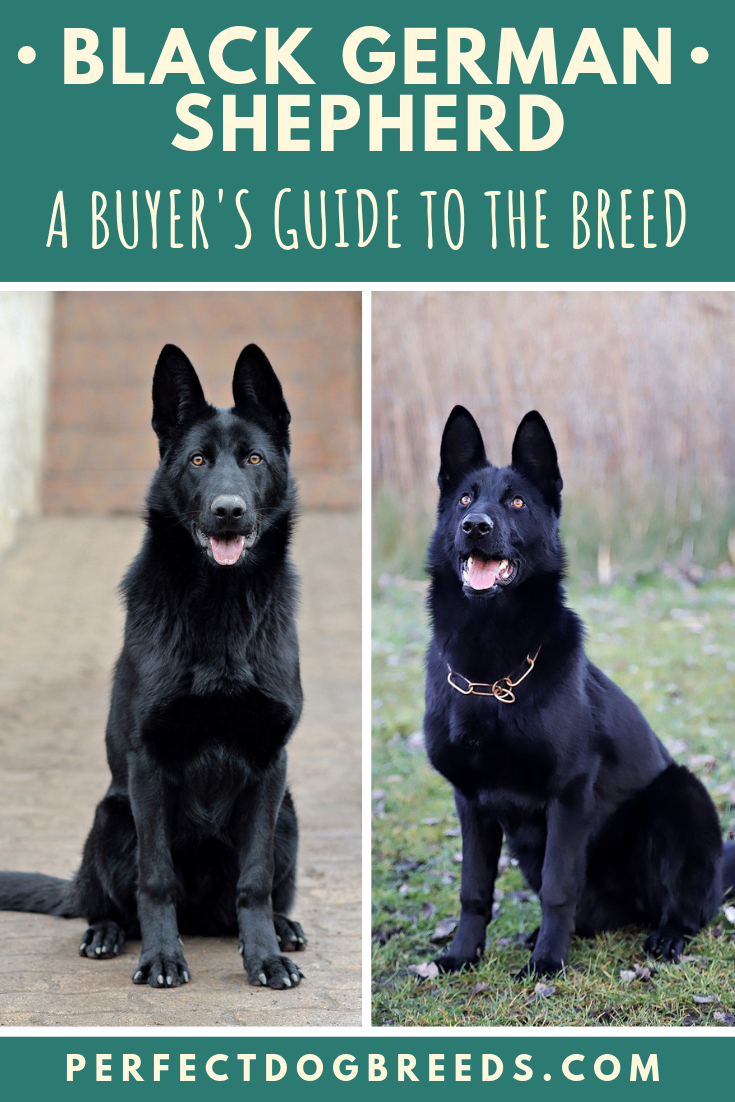 Buyer S Guide To A Black German Shepherd Black German Shepherd