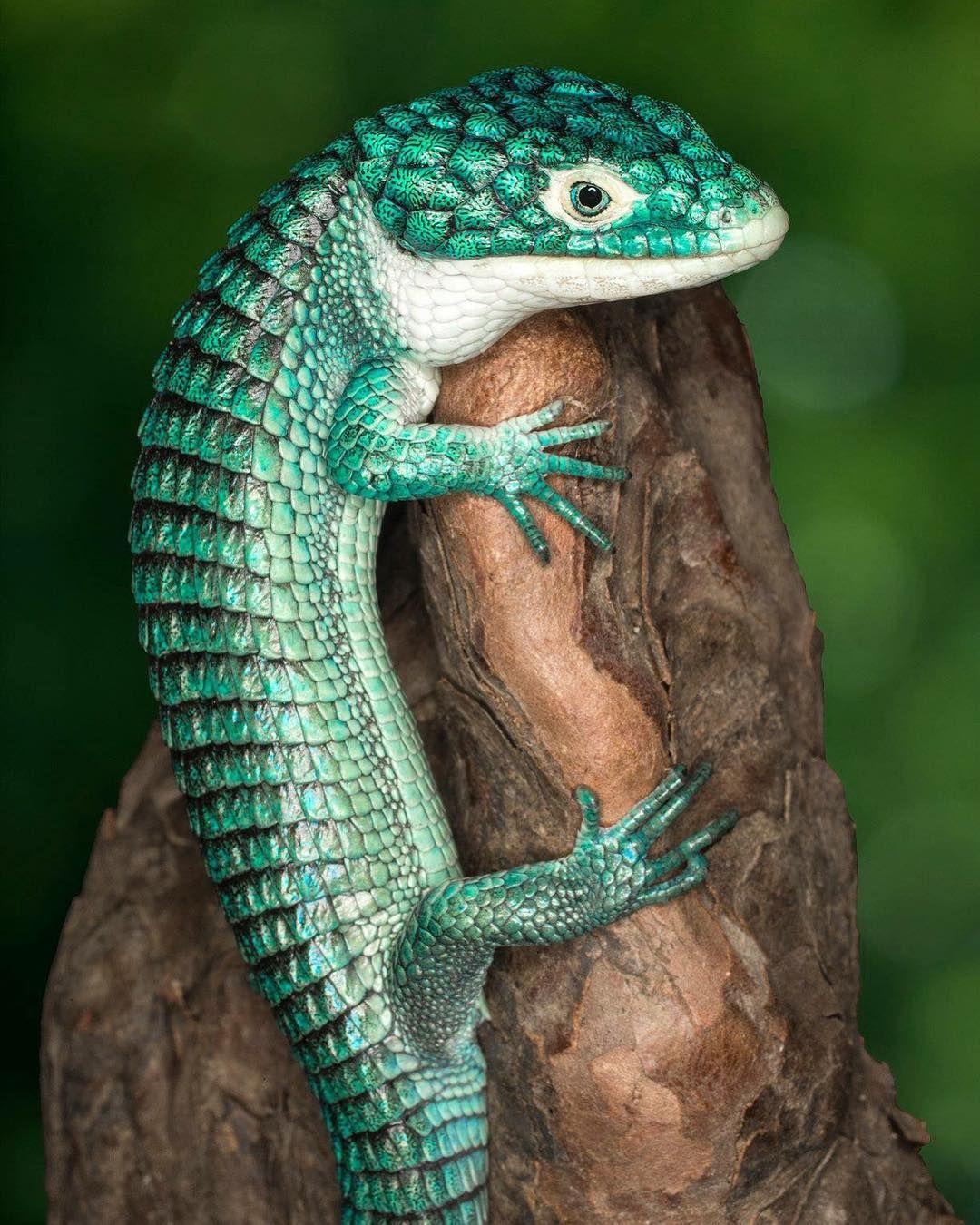 The very photogenic mexican alligator lizardhttps//i