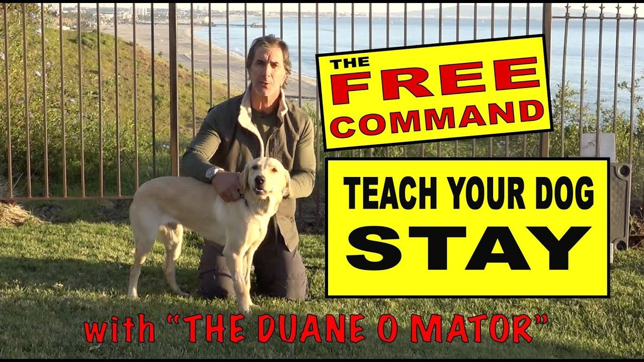 Teach Your Dog To Stay The Free Command The Release Dog