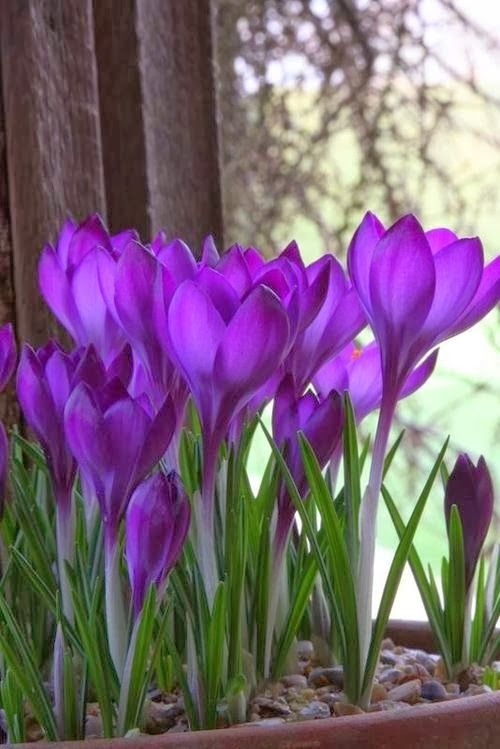 Purple crocus they are always the first spring flowers to appear purple crocus they are always the first spring flowers to appear and will even bloom if there is still winters snow on the ground mightylinksfo