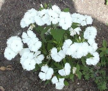 White Flowering Perennial Dianthus Low Growing And Will Grow In Poor Soil Conditions