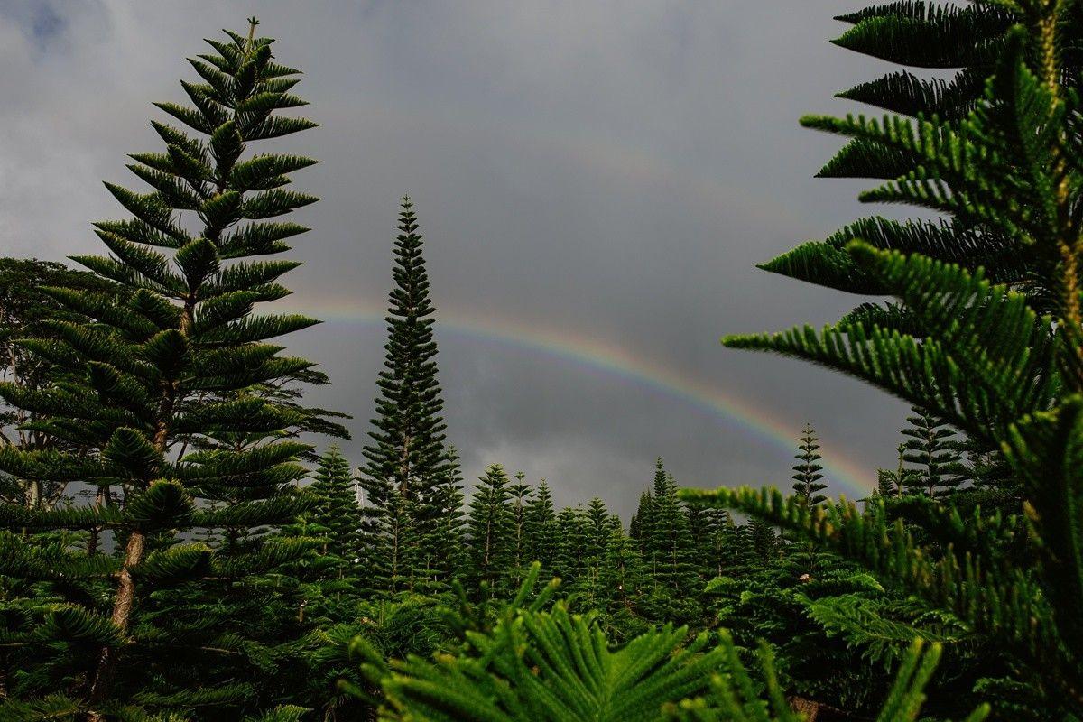 Oahu Christmas Tree Hunt Hawaiian christmas tree, Oahu