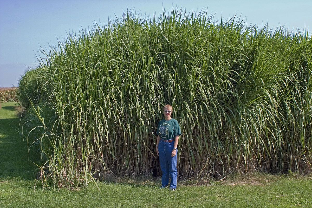 miscanthus giganteus makes a nice privacy fence