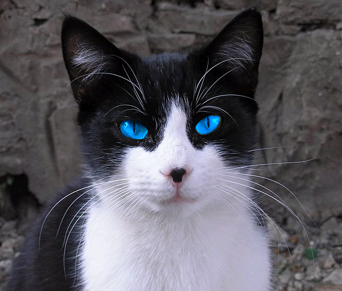 Icestar Never Seen Such Beautiful Blue Eyes Cat With Blue Eyes White Cats Cute Cats