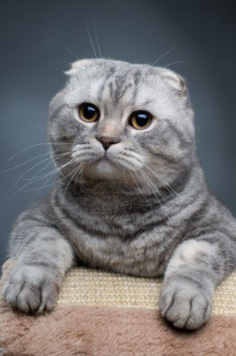 Scottish Fold Cat This breed is in my top 5 favorites for