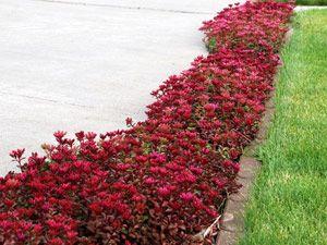 Ground cover sun perennials sedum container gardening garden plant designs also