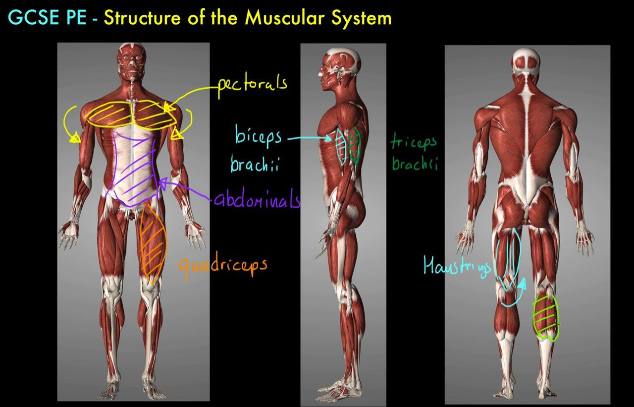 Brand new GCSE PE video Structure of the Muscular System | GCSE P.E ...