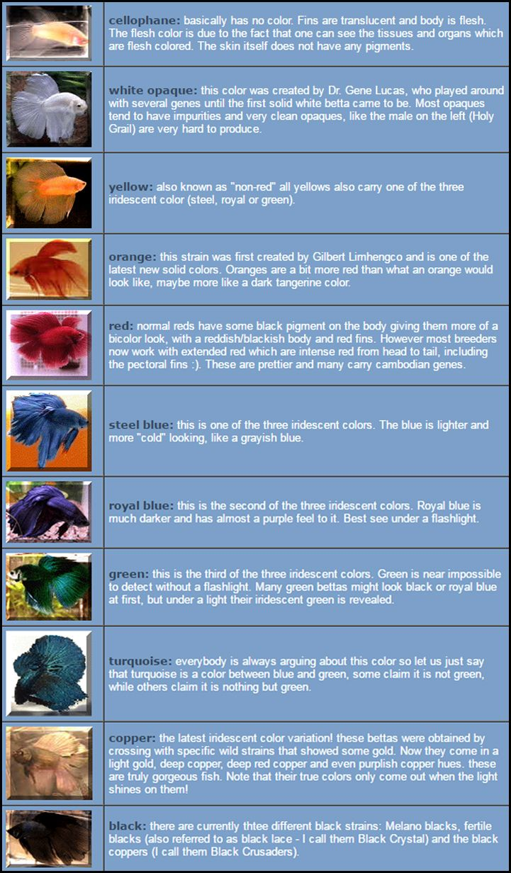 These Are Bettas That Are One Color Meaning The Body And The Fins Are The Same Color Ideally Solid Color Bettas Should Not Have Any Color Betta In The Flesh