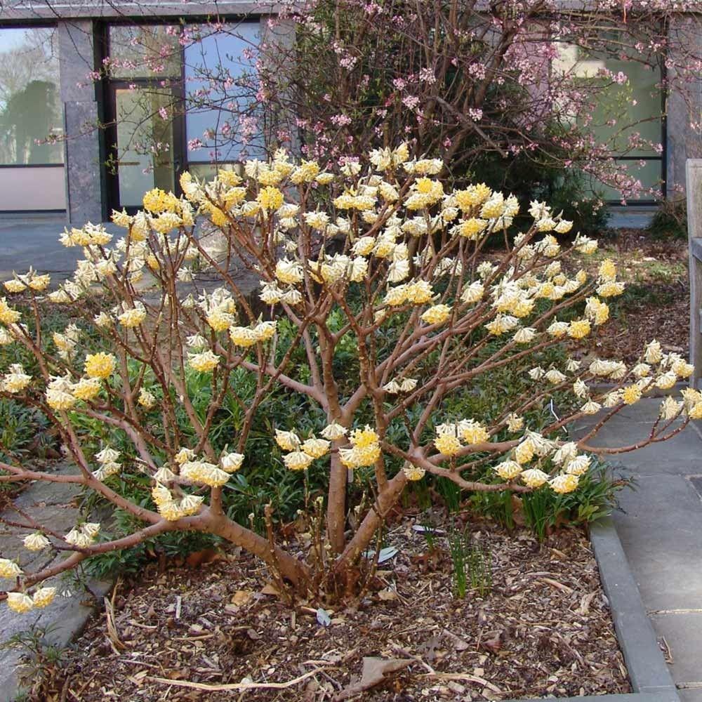 Bildergebnis f r edgeworthia 39 grandiflora gardening for Pflanzengestaltung garten