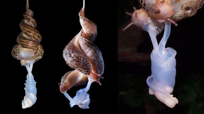 Image result for leopard slug penis