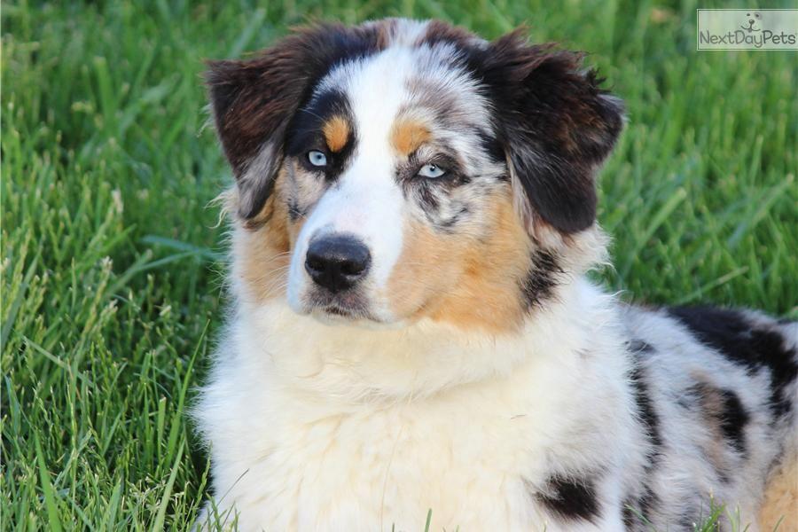 Mini Australian Shepherd Puppies For Sale In Texas Craigslist 2021