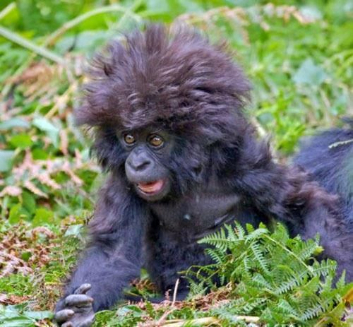 Oh my gosh, look how cute this baby gorilla is...love the hair!! Never go to a beautician if she's busy talking to old classmates, u will end up like this. LOL
