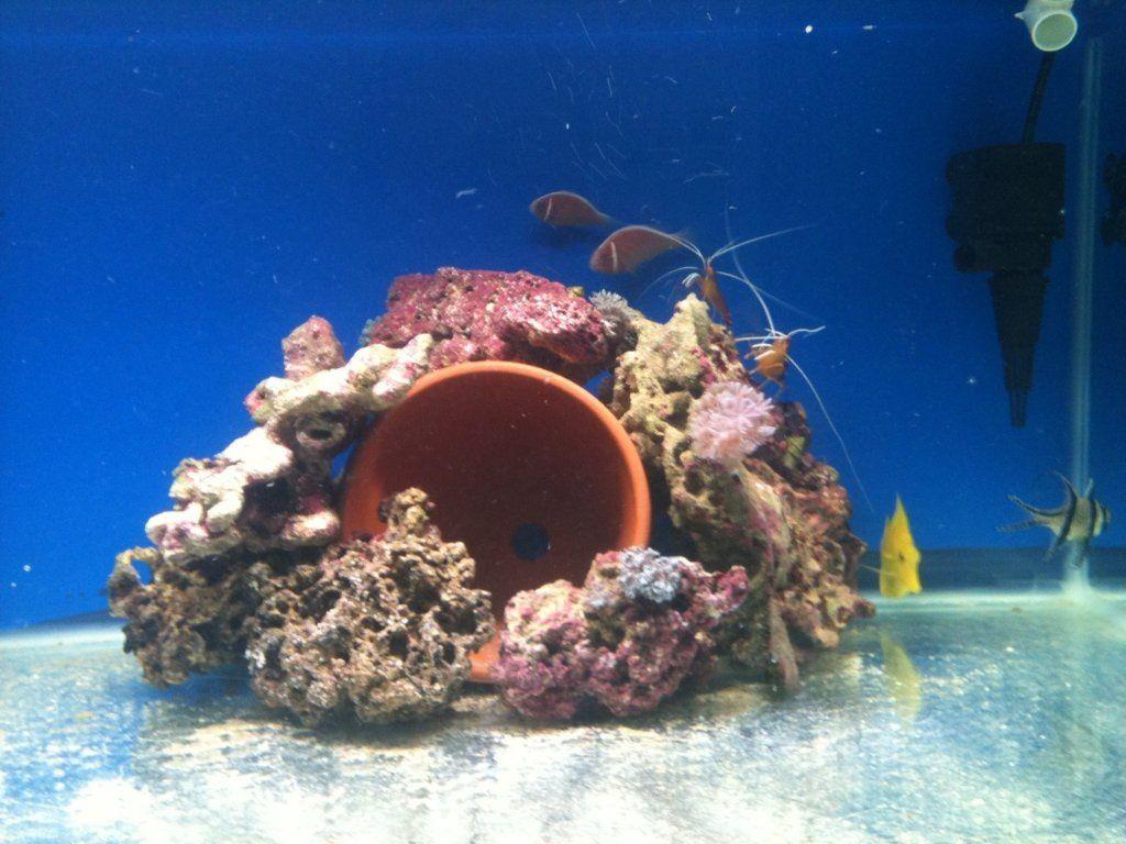 Clownfish Breeding