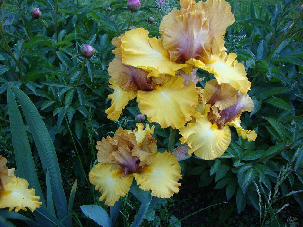 Photo of Tall Bearded Iris (Iris 'Nouveau Riche') uploaded by Paul2032