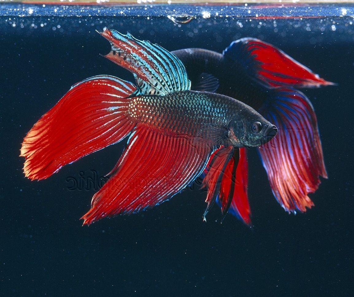 Fighting Fish Picture on Animal Picture Society | Aquarium ...