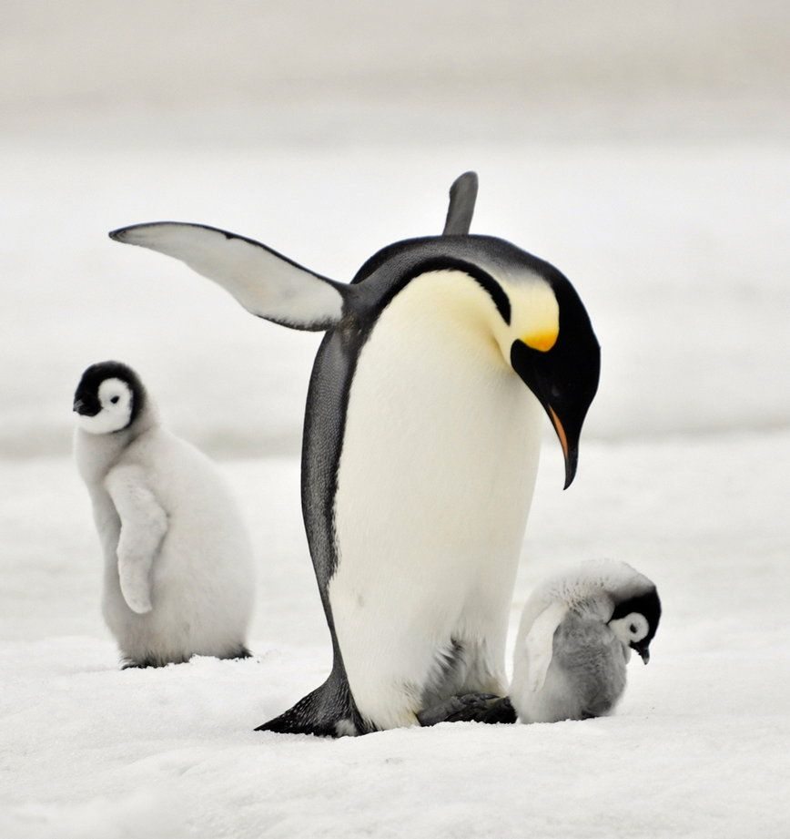 Baby emperor penguin stays with its parents at the polar house of - Funny Animal