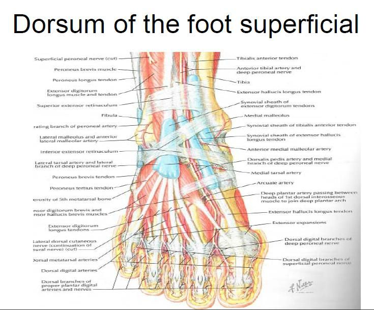 Superficial Aspect Of The Dorsal Foot Including Tendons Science