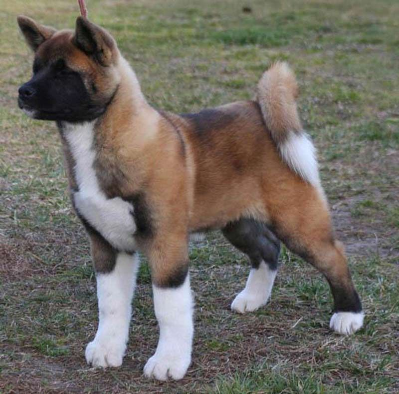 Akita Dog Breed Information Unique Dog Breeds Akita Dog Dog Breeds