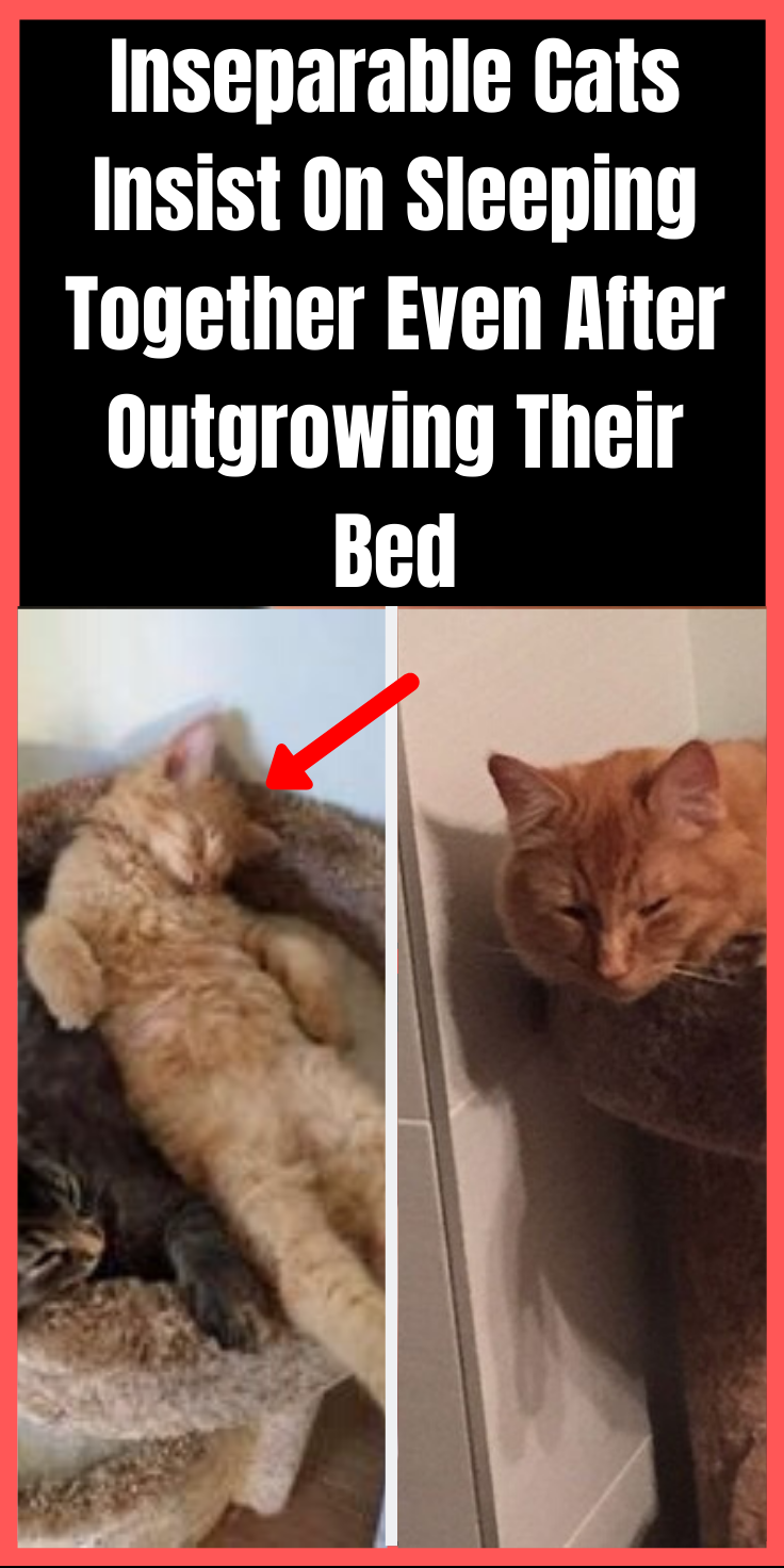 Inseparable Cats Insist On Sleeping Together Even After Outgrowing Their Bed Cats Funny Cat Videos Cat Aesthetic