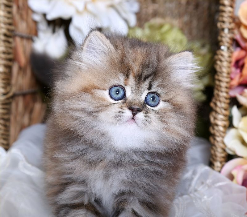 Cinnamon Tortoiseshell Tabby Persian Kitten For Sale Cute Cats And Dogs Animal Photography Dogs Kittens Cutest