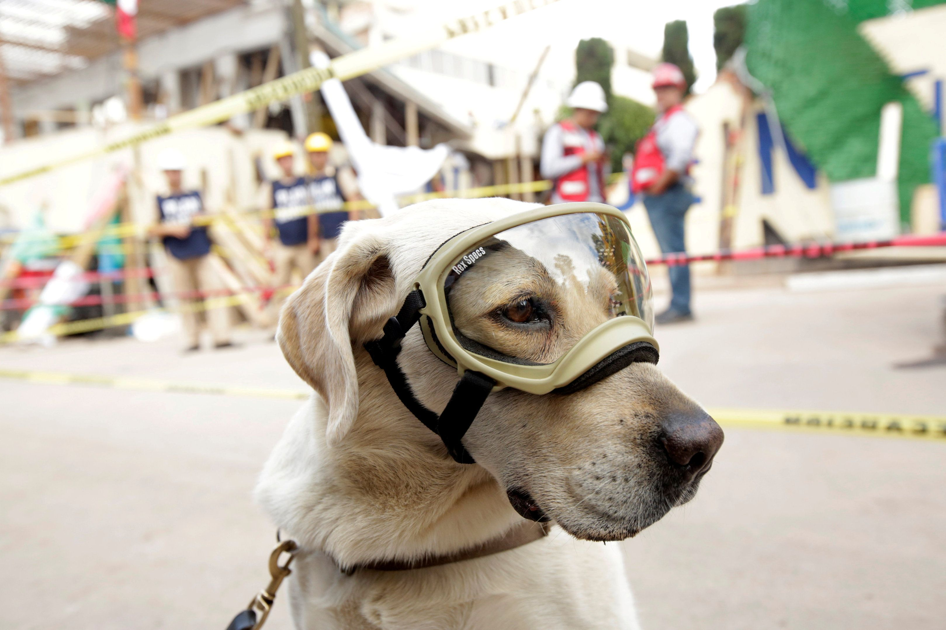Rescue Dog Frida Looks On While Working After An Earthquake In Mexico City Mexico September 22 2017 Reuters Jose Luis Gonzalez Rescue Dogs Dogs Dog Friends