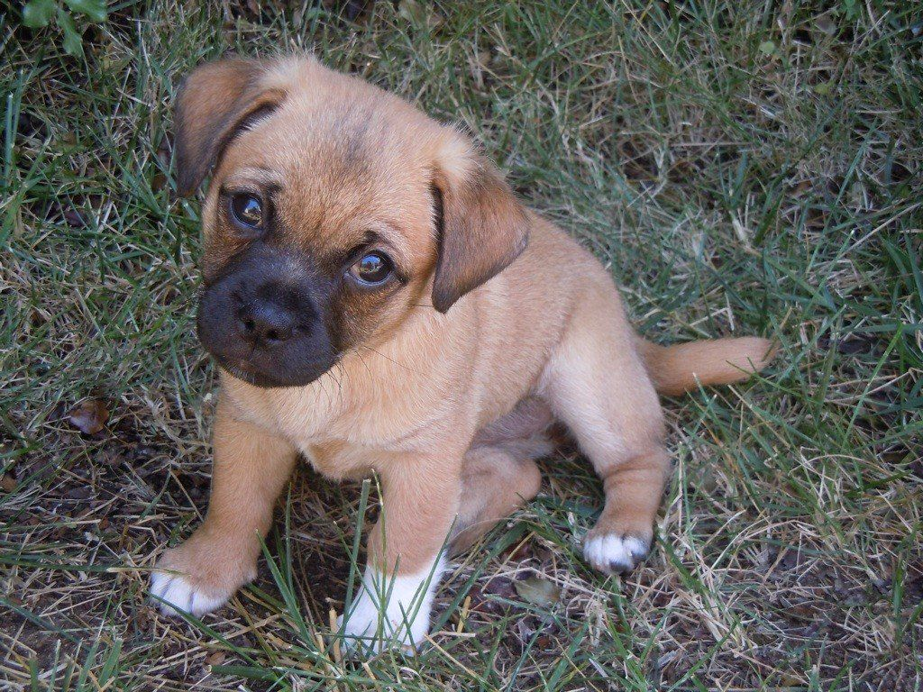 All About Jug Puppies Puppies Jack Russell Terrier Puppies Jack Russell Terrier