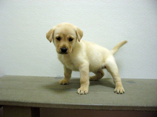 Labrador Retriever Puppies For Sale In Ny Labrador Retriever Puppies Labrador Retriever Retriever