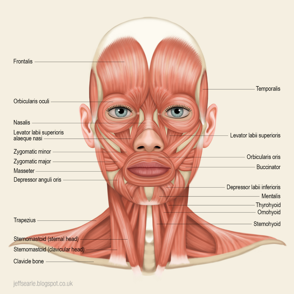 Jeff Searle Muscles Of The Head And Neck Neck Muscle Anatomy Muscle Anatomy Facial Muscles Anatomy