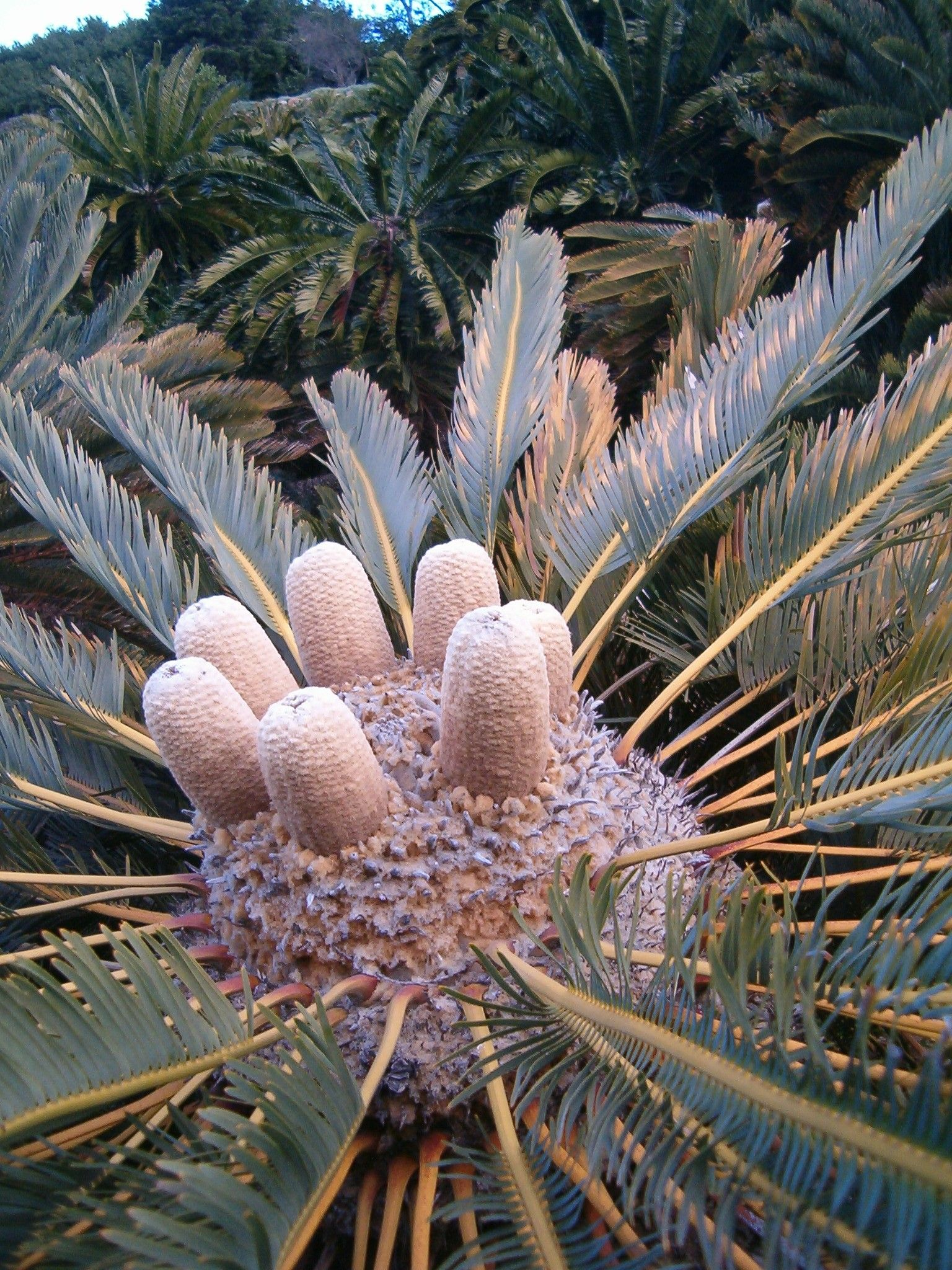 Encephalartos friderici   BROODBOME   Plants, Rare plants