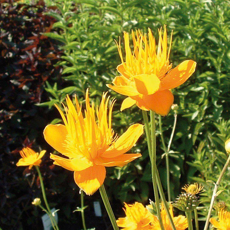 Trollblume Golden Queen Gartenpflanzen Online Kaufen Bestellen Pflanzen Winterharte Stauden Blumen