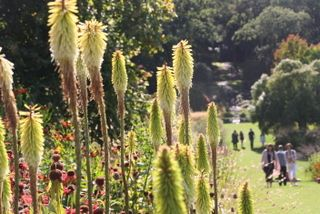 Garden planting at Harrogate North Yorkshire, beautiful border planting, kniphofia