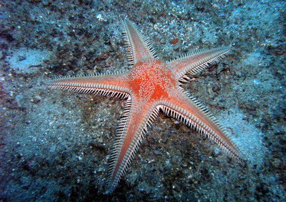 Astropecten Aranciacus Also Known Red Comb Starfish Order Paxillosida Family Astropectinidae Genus Astropecten Animal Art Starfish Sea Creatures