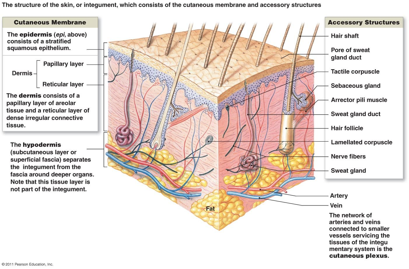 integumentary system | veterinary info | pinterest | body systems