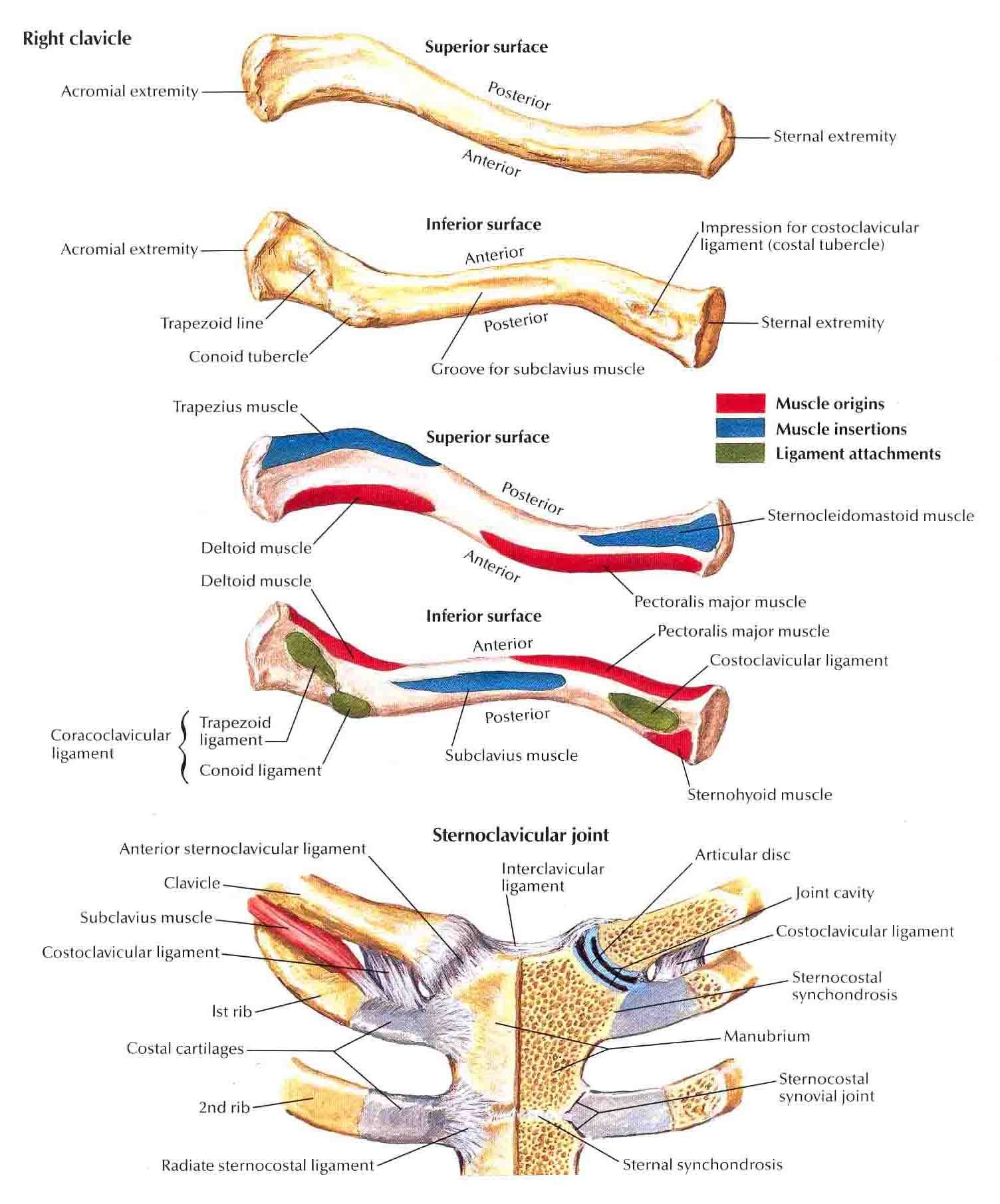 clavicle-and-sternoclavicular-joint.jpg 1,504×1,812 pixels | Yoga ...