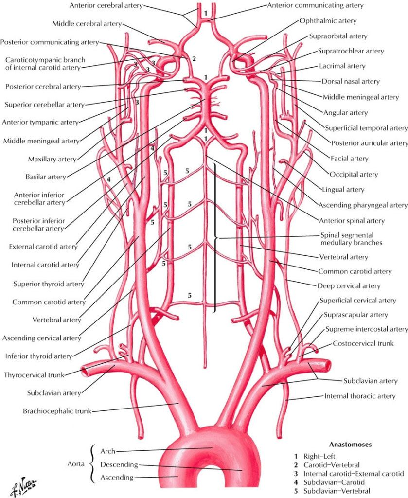 Arteries supplement of the neck and head anatomy in detail - www ...