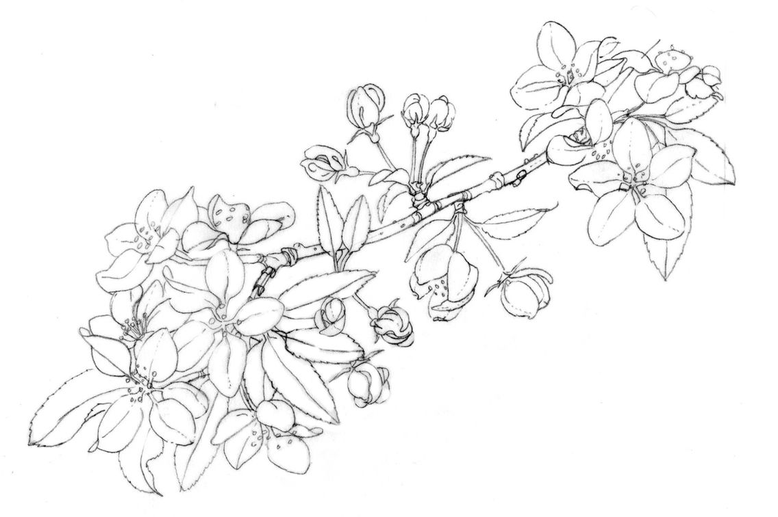 Orange Blossoms Apple Blossom Tattoos Flower Drawing Simple Flower Drawing